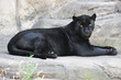 Постер, плакат: Black panther