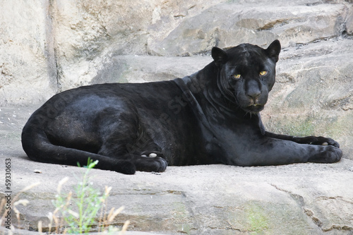 Canvas Luipaard Black panther