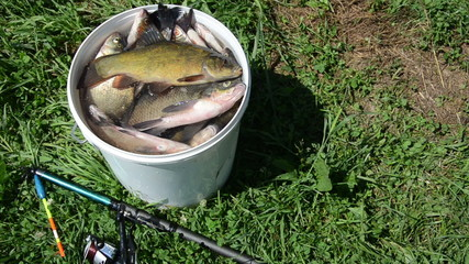 tench breathe through gills lying on top of the other fish