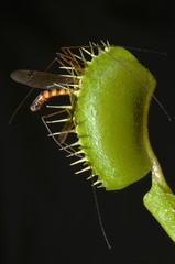 venus fly trap with crane fly in jaws