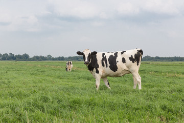 Farmland with black and white cow, the Netherlands