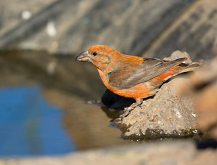Red Crossbill, Male. Oregon, US