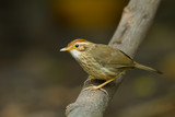 Puff-throated babbler(Pellorneum ruficeps)