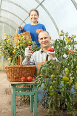 Woman and man picking tomato