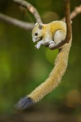 Gray-Bellied Squirrel (Callosciurus caniceps ) in nature