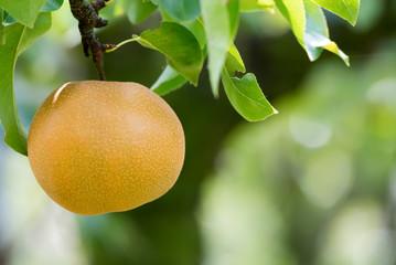Japanese nashi pear (Pyrus Pyrifolia)