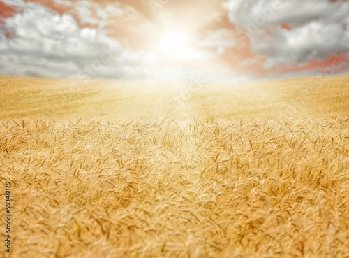 golden wheat field and bight sun in the distance