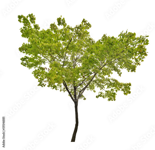 summer green isolated maple tree