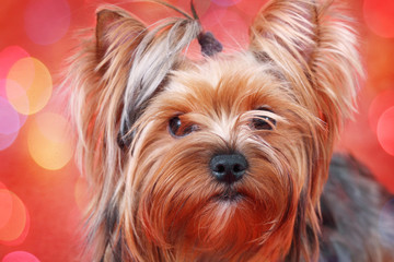 portrait of a Yorkshire terrier on red background