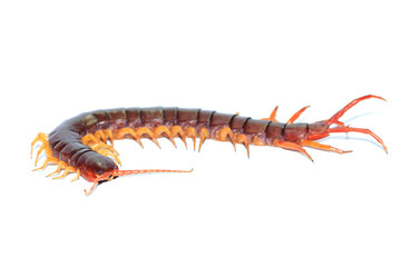 brown centipede