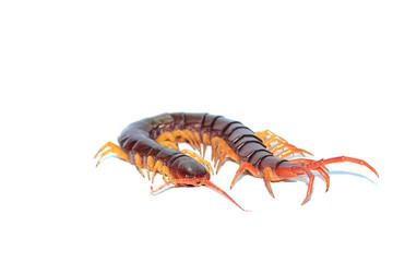 brown centipede