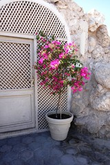 bougainvillea in front of the house