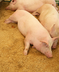 Pigs resting on wood shavings