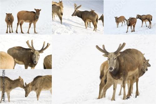 Plexiglas Ree Dammwild im Winter