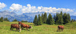 Panoramic view of brown cows