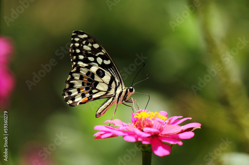 Butterfly  sucking nectar from pink cosmos flower pollen