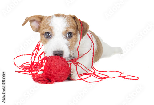 Jack Russell terrier puppy on white background in studio