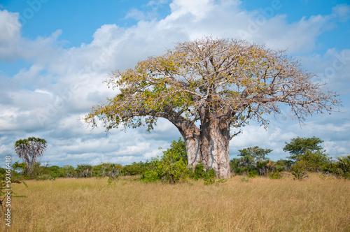 huge baobab in tanzania - national park saadani