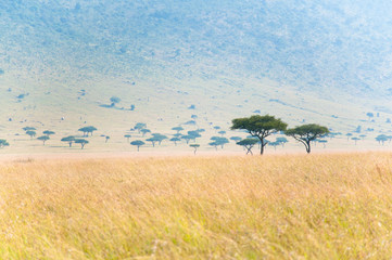 savannah trees - umbrella acacias in the masai mara