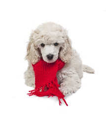 Small white poodle with a red Scarf