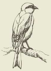 "Vector drawing of a series ""Birds"".  Lanius, typical shrike"