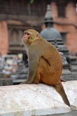 Sitting monkey, at Swayambhunath temple. Kathmandu, Nepal