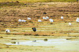 Aquatic seabirds in lake Titicaca National Reservation