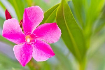 барвинок малый. Periwinkle. pink flower