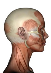 Profile head muscles of woman - 3D render