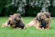 Zwei Hunde mit Knochen