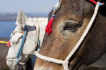 Donkey in Thira on Santorini island in Greece.
