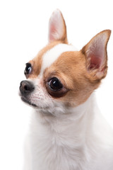 Closeup portrait of Chihuahua