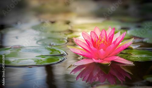 Pink lotus - 59385088