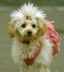 Miniature poodle playing in the street