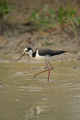 Black-necked stilt, Himantopus mexicanus,