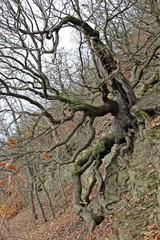 Traubeneiche (Quercus petraea), Baum des Jahres 2014