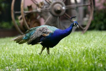 Blauer Pfau Männchen