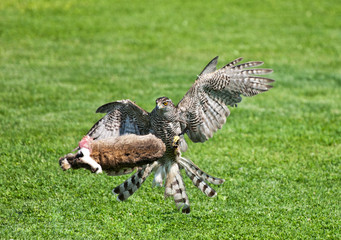 goshawk killing its prey