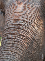 elephant trunk and eye