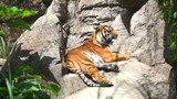 The Bengal tiger laying on rocks
