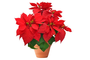 red christmas flower on white background