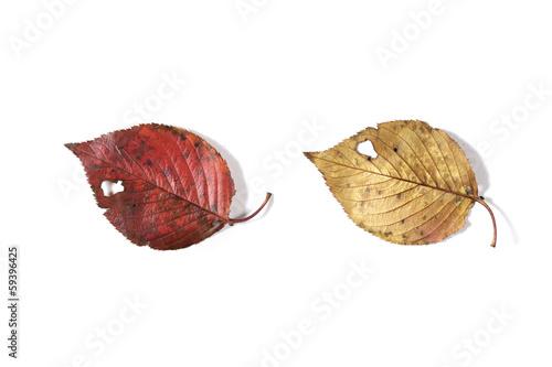紅葉して落ちた葉(裏表)