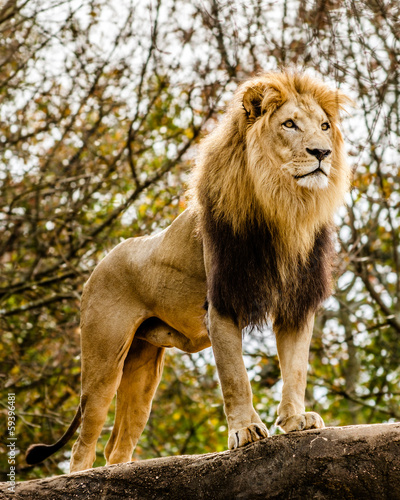 Staande foto Buffel Male lion looking out atop rocky outcrop