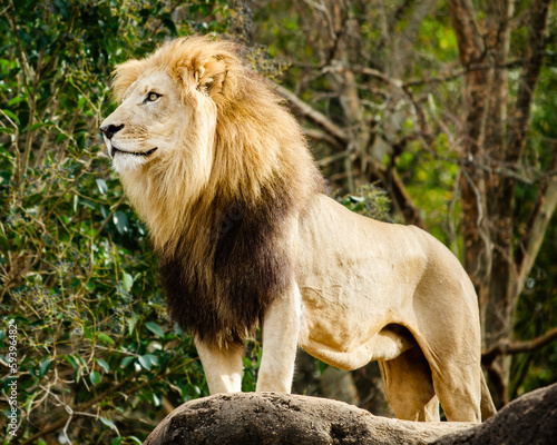Male lion looking out atop rocky outcrop