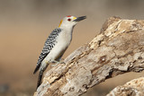 Golden-fronted Woodpecker - Texas