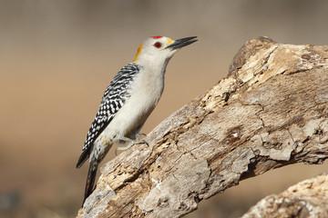 Golden-fronted Woodpecker - Texas