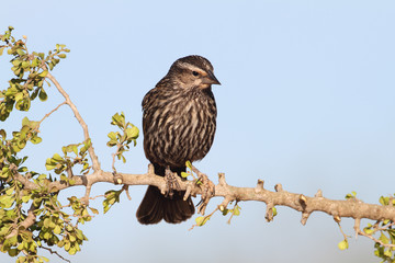 Female Red-winged Blackbird  on a Branch