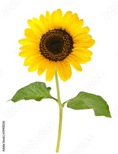 Foto op Aluminium Zonnebloem sunflower