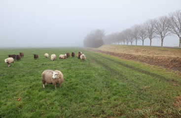 few sheep in winter fog on pasture