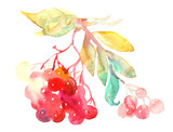 Red Rowan Berries,  Twig. Watercolor Painting.